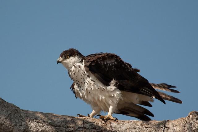 African Hawk Eagle - Aquila spilogaster