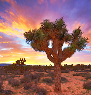 The Beauty of Joshua Trees | by Rennett Stowe