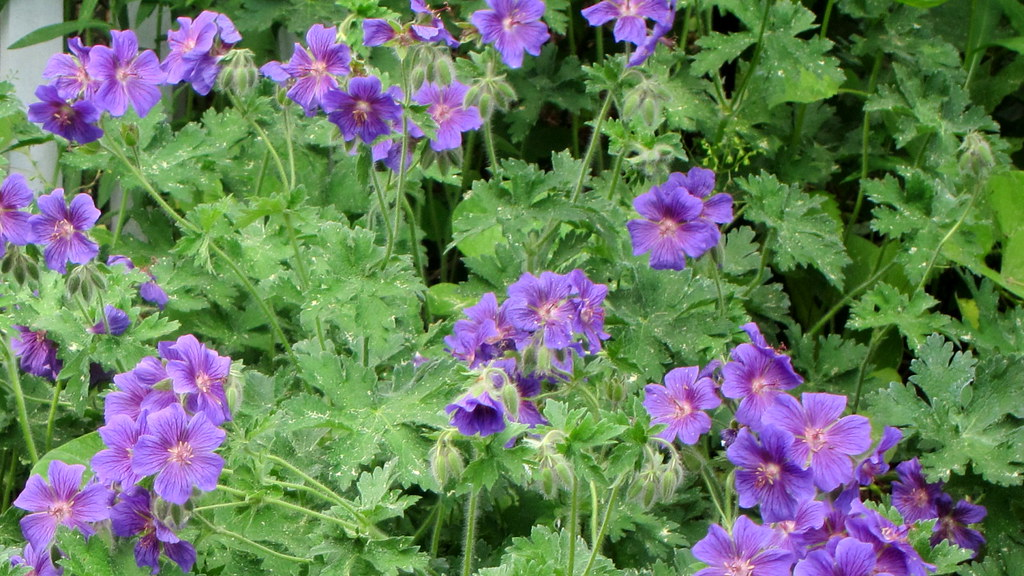 160529 112 NYBG - Perennial Garden, Geranium x magnificum
