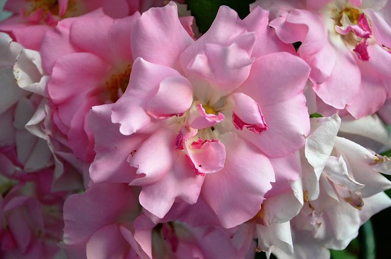 Roses 07.07 (1)