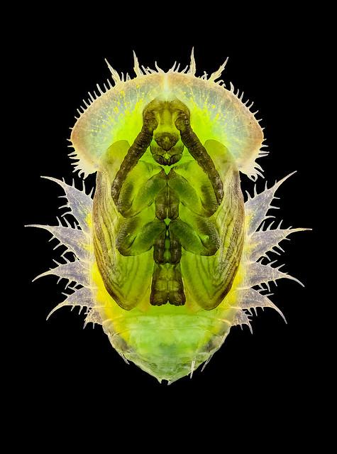 Tortoise beetle (Cassida viridis?) pupa.