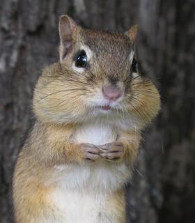 Petit suisse -- Little chipmunk (close-up)   by Gilles Gonthier