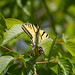 Boxelder tree with tiger swallowtail butterfly