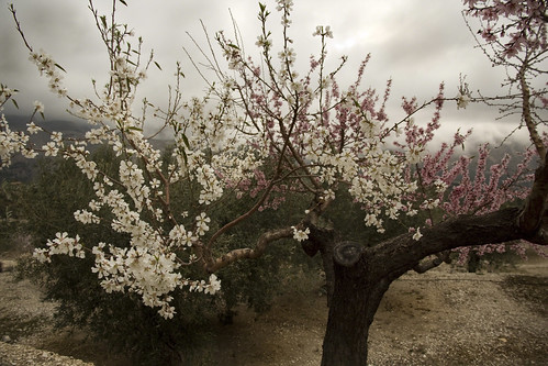 IMG_5716 Almond tree flowers in two colors  - Seen On Explore 2014-02-19  # 67 | by jaro-es