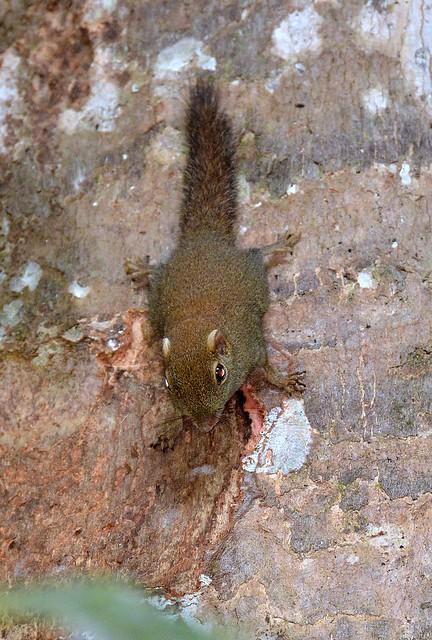 Pygmy Squirrel - nightshot in the Danum Valley, Borneo.