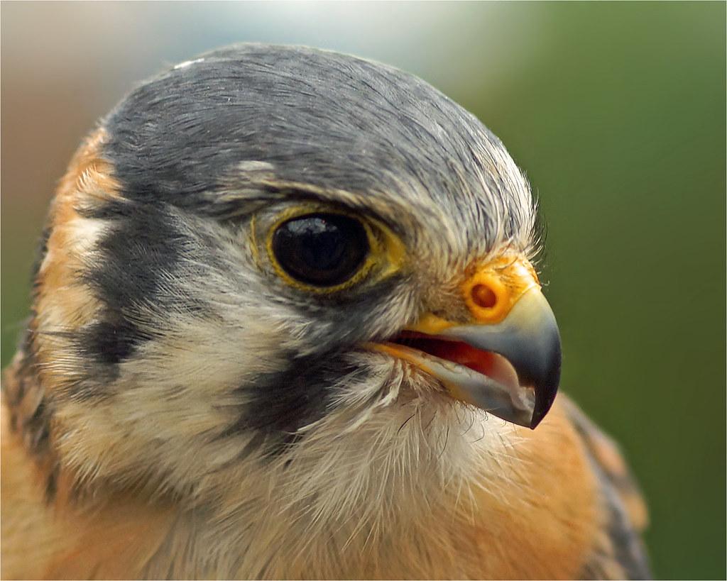 American Kestrel or Sparrow Hawk