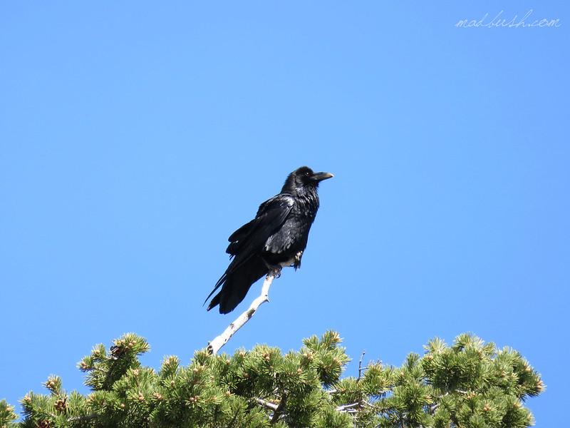 Common Raven (Corvus Corax) Yoshua Tree Park, California