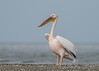 Great White Pelican by tickspics 