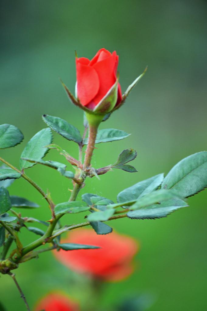 Rosa en el jardin | Fotografia de rosa roja abriendo la flor ...