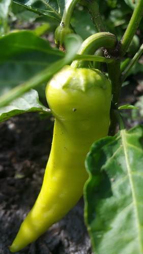 Sweet banana pepper | by karen_hine