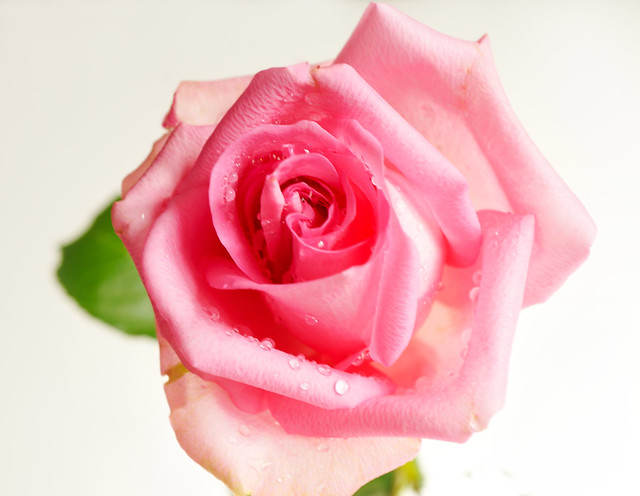 pink rose on white