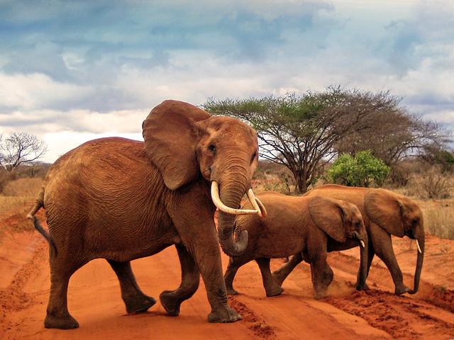 Matriarch Elephant on the road - Tsavo East National Park, Kenya