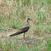 Oriental Pratincole by Sir Mart Outdoorgraphy™