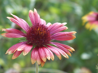Blanket flower blossom   by USFWS/Southeast