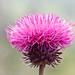 Flickr photo 'Carduus nutans BS090513-038' by: Sarah Gregg Petriccione.