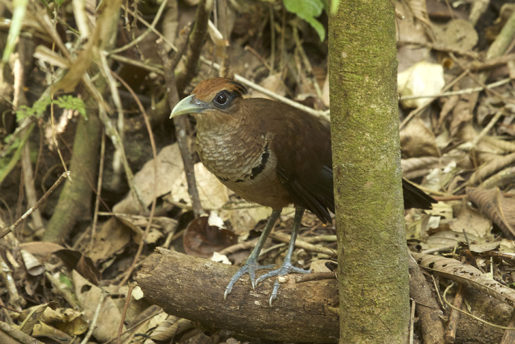 Neomorphus geoffroyi - Rufous-vented Ground-Cuckoo