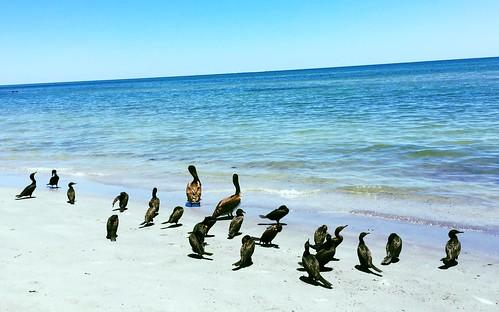 2016 potd birds pelicans keybiscayne florida beaches 800views