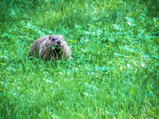 fierce looking grass eater