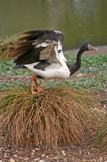 20130505_9685 Magpie Goose - Anseranas semipalmata | by williewonker