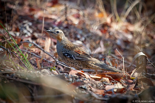 Spotted Quail-thrush | by James Lagden