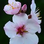 Almond Flowers:杏仁花