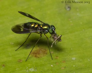 Longlegged Fly with prey