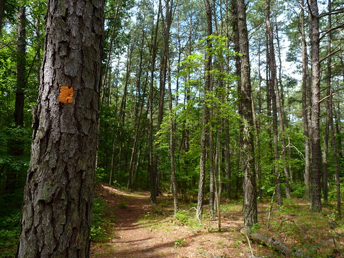 trees summer tree pine forest newjersey path nj trail pinebarrens conifer trailmarker oldbridge fav10 middlesexcounty newjerseypinelands johnaphillipsopenspacepreserve oldbridgecountypark spotswoodoutlier