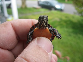 Baby Turtle | by Tobyotter