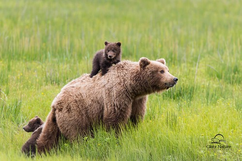 Brown Bear Spring Cub Rides Mom's Back | by Glatz Nature Photography