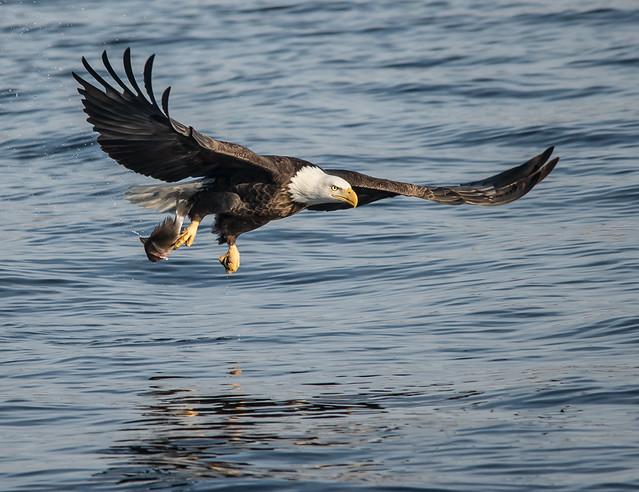 American Bald Eagles 68