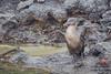 Flightless Cormorant - Punta Albemarle, Isla Isabela, Galapagos, Ecuador by Vivek Khanzodé (www.birdpixel.com)