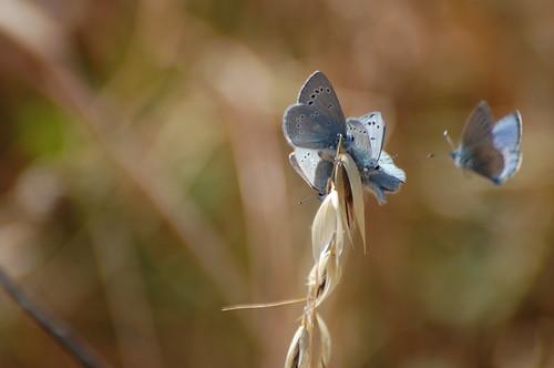 Palos Verdes Blue Butterfly Release