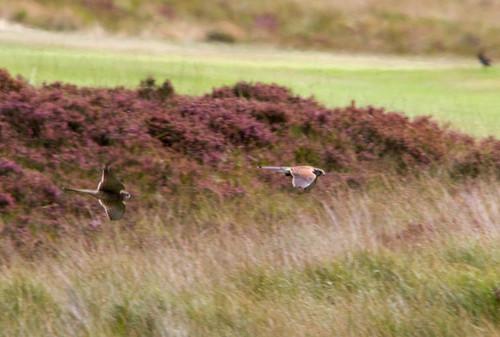 Kestrel, Baildon Moor | by Paul Marfell