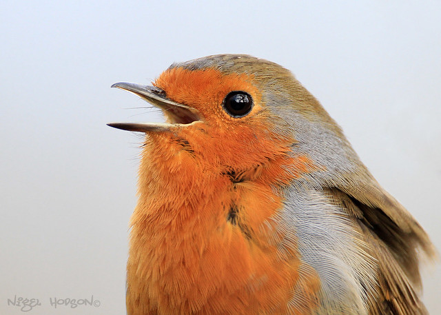 A Robins Song