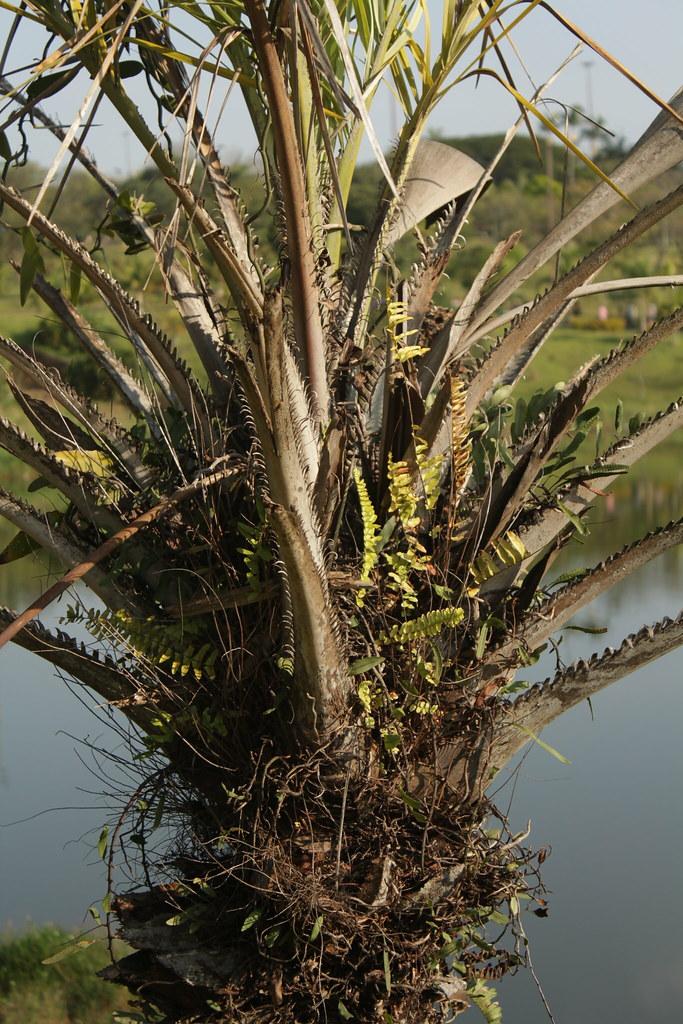 Syagrus coronata (Mart.) Becc.-002