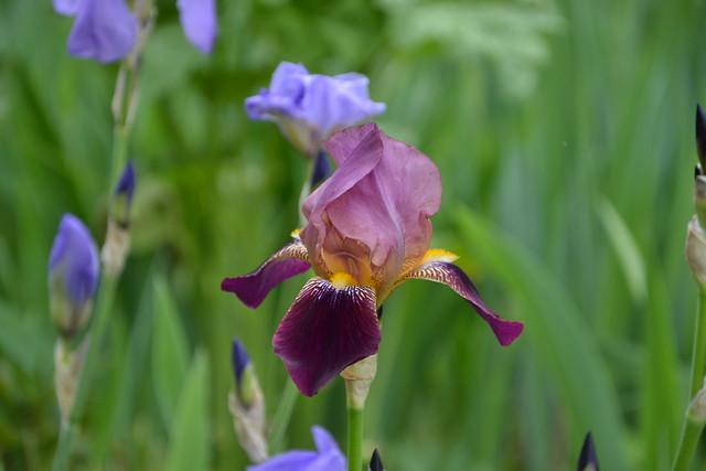 Iris 'Voltigeur' - Ferdinand Cayeux 1934 8720593884_e7f17f5306_z