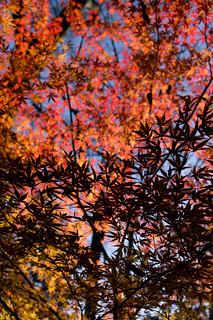 色どる光、形づくる影 - Color and silhouette of maple leaves - | by SP48K-NT
