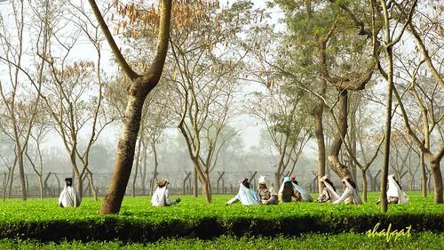 garden landscape tea tetulia hx10b