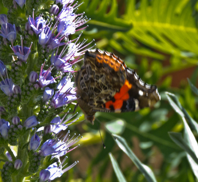 Canary Red-Admiral butterfly