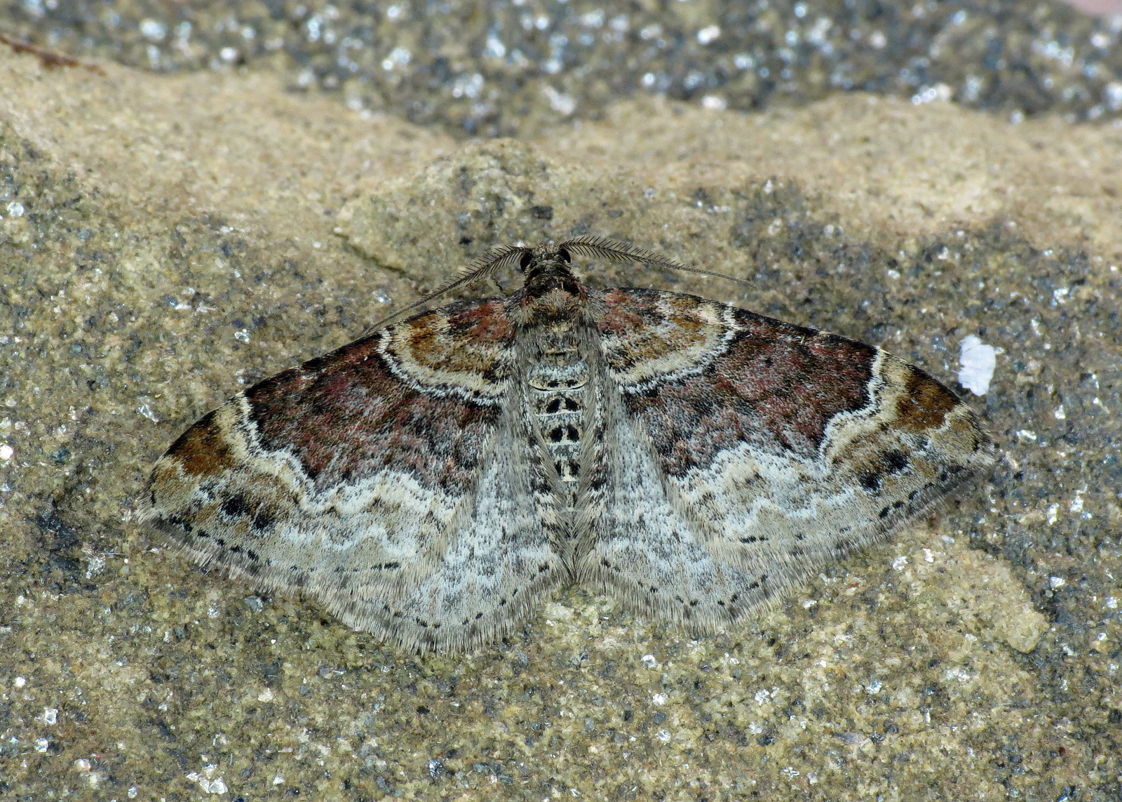 1724 Red Twin-spot Carpet - Xanthorhoe spadicearia