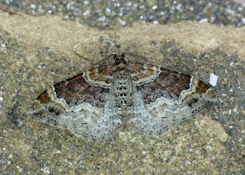 1724 Red Twin-spot Carpet - Xanthorhoe spadicearia