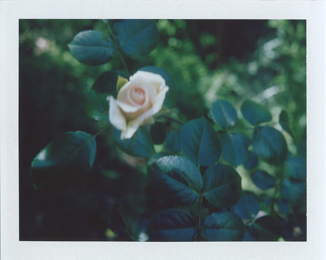 about a rose....