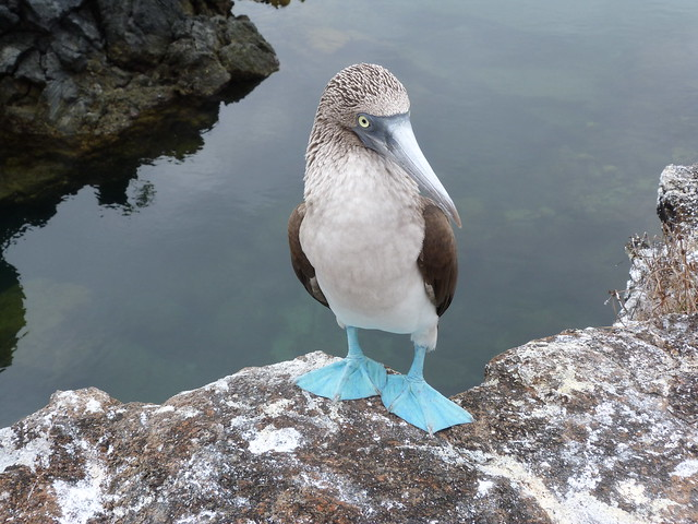 Piquero de patas azules (Isabela, Islas Galápagos)