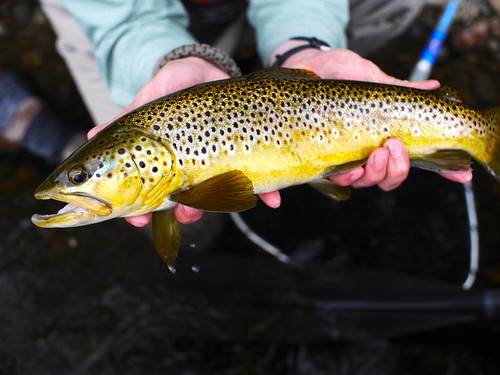 Kennebec River Brown Trout. Photo by Brian Donaghy | by Maine River Guides