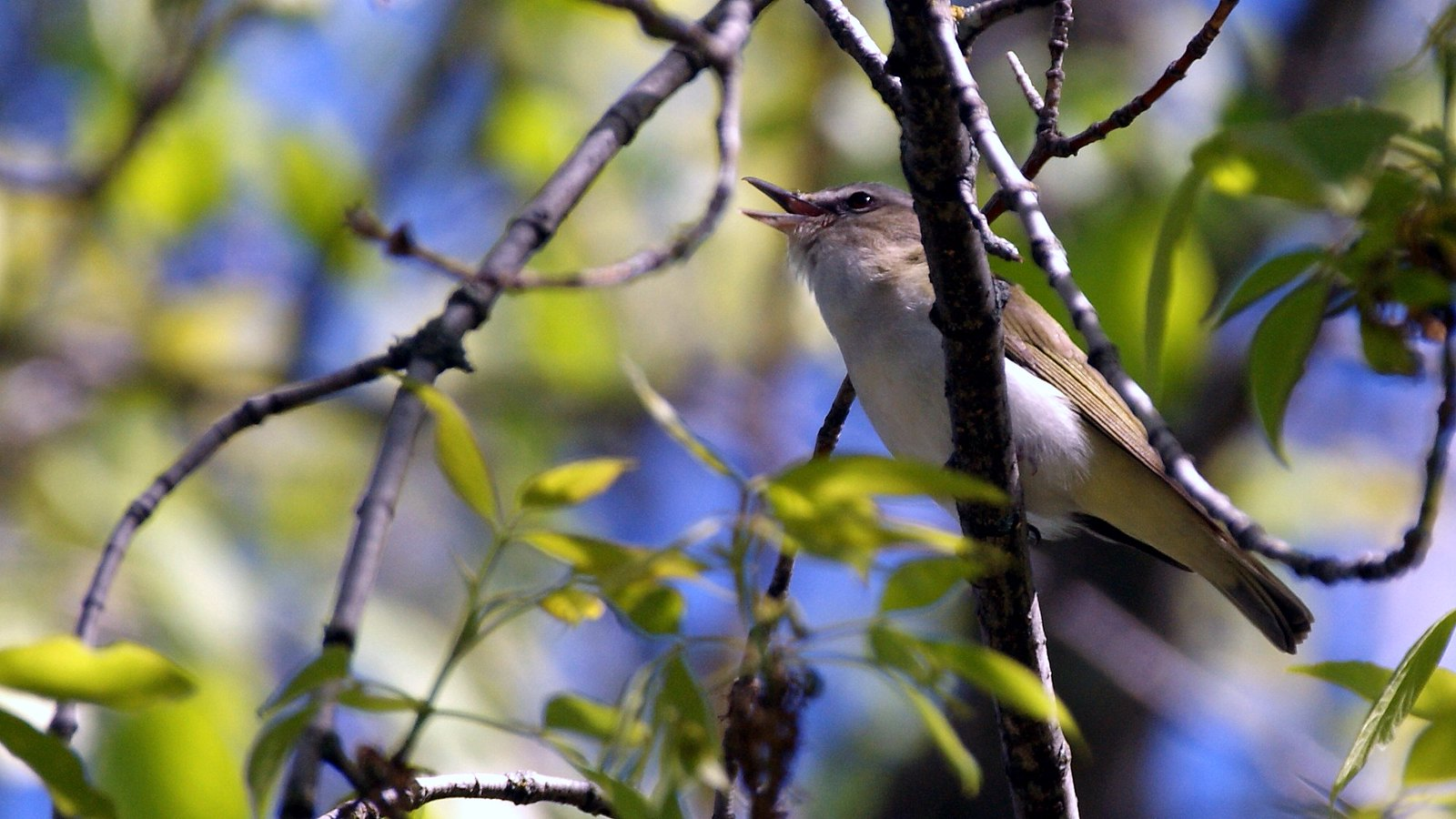 Red-eyed Vireo, Lester River, 06/16/13