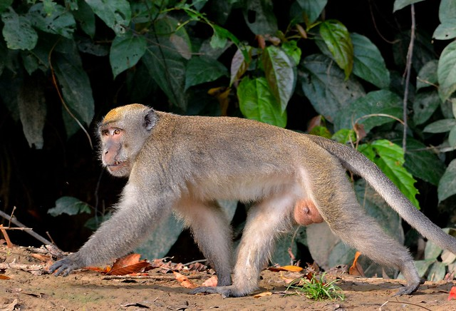 Monkey Business (Crab-eating Macaque male) on the Kinabatangan River, near Bilit, Sabah.