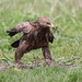 Lesser Spotted Eagle - Photo (c) The Wasp Factory, some rights reserved (CC BY-NC-SA)