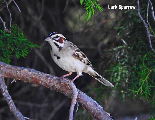 -Sparrow-Lark-NE | by Tricolor Brian