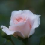 薔薇 Rose-1