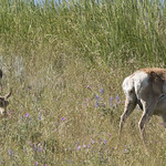 Female Pronghorn Antelope with fawns